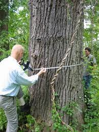 Measuring a champion (large) tree.