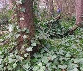 Invasive ivy in the woods