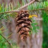 Douglas fir cone bract