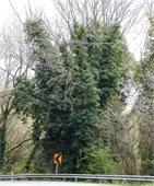 Invasive ivy on a tree