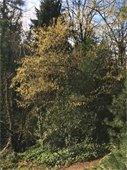 Beaked Hazel tree